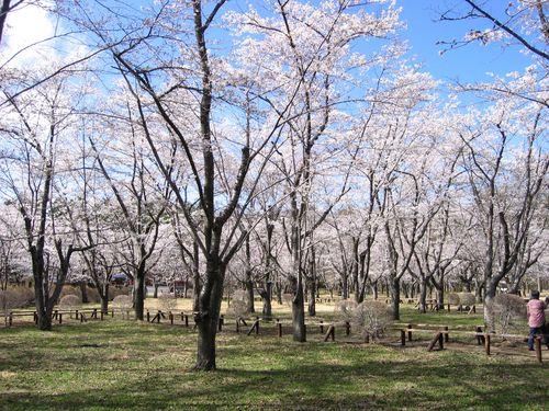 聖光寺境内の桜 2009年4月23日