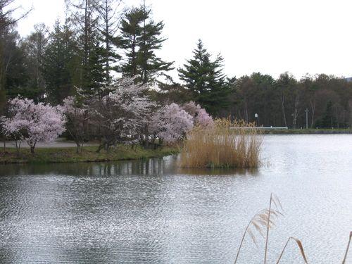 蓼科湖畔の桜 2009年4月23日
