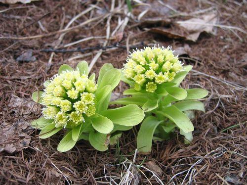 開花したフキ 2009年4月12日