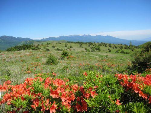 車山のレンゲツツジ、向こうに見えるのは八ヶ岳連峰