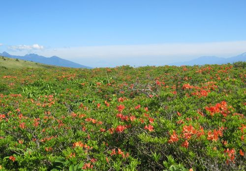 霧ヶ峰のレンゲツツジ 2010年6月24日