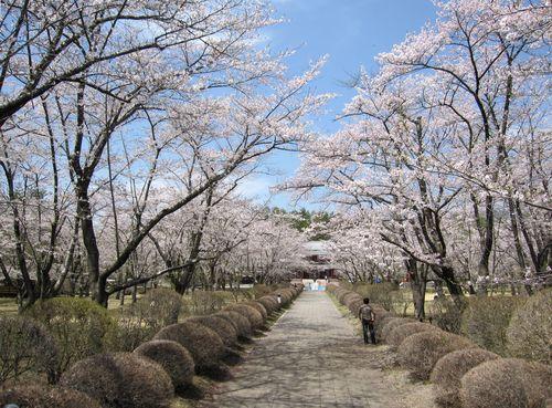 蓼科 聖光寺の桜 2010年5月6日